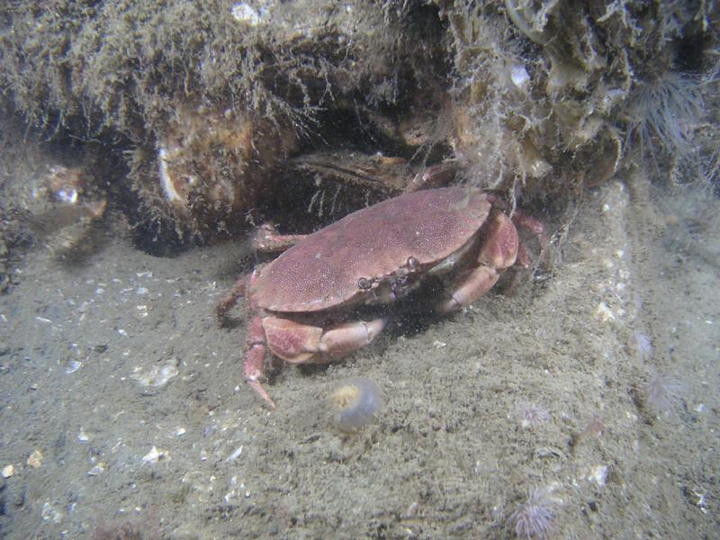 Krabbe Sepiahochzeit Grevelinger Meer