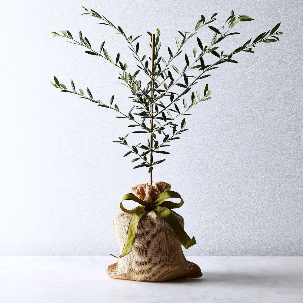 The Magnolia Company Olive Tree Sapling- what to give to a friend whose dad died