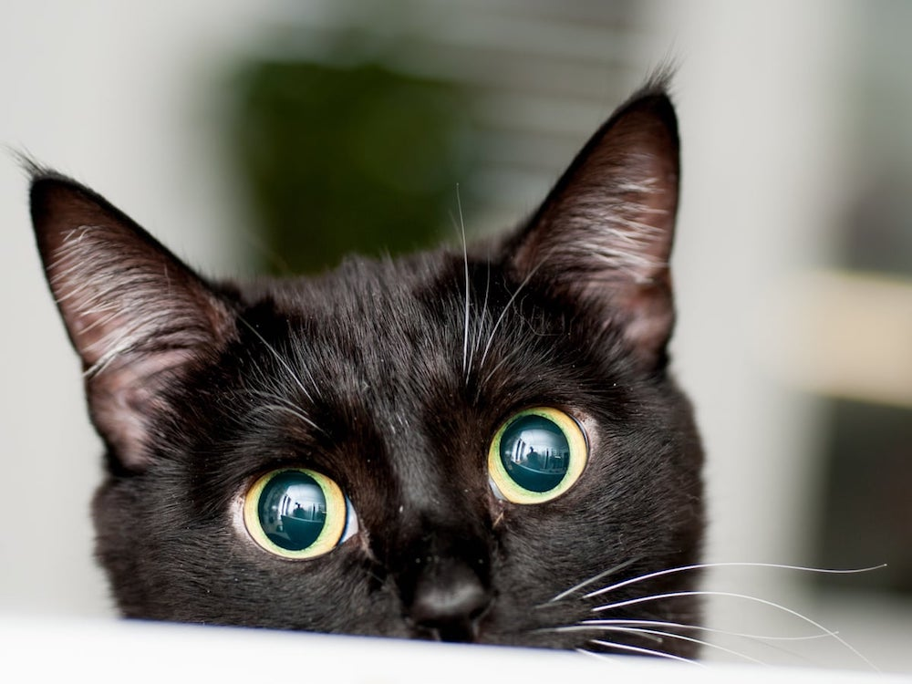 Know why are Black cats associated with Halloween?