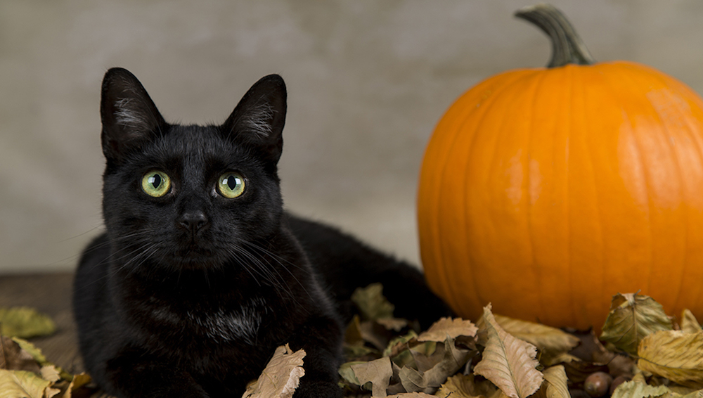 Searching for why are Black cats associated with Halloween?