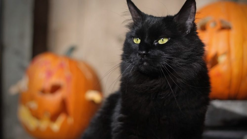 Why are Black cats associated with Halloween?