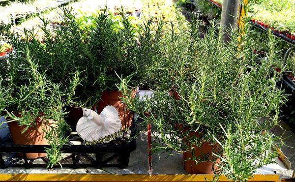 5吋盆 [ 大迷迭香盆栽 葉子可搭配各種料理 ] 活體香草植物盆栽, 可食用.料理或泡茶 ~ 半日照佳~ 先確認有沒有 ...