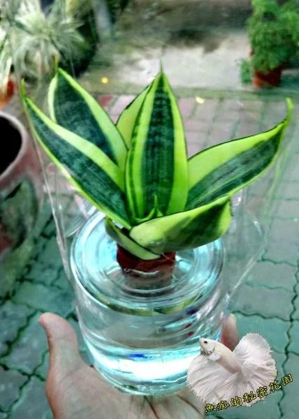 [ 虎尾蘭 虎皮蘭 水耕盆栽] 玻璃瓶水耕植物盆栽 室內佳 可以淨化空氣 吸甲醛 - 臺灣樂天市場 - LINE購物