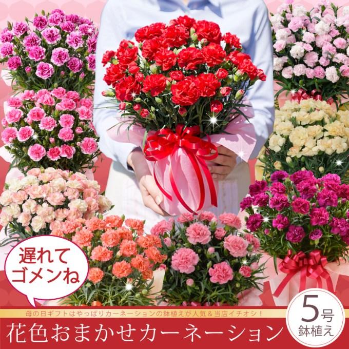 「【まだ間に合う地域限定】母の日ギフト花色おまかせカーネーション鉢植えギフト!」を楽天で購入