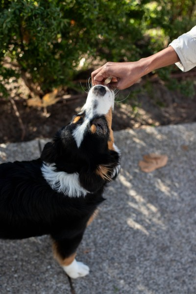A dog with brown, black, and white spots eats a treat from her owner's hand.