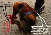 Ο ΤΑΣΟΣ ΤΣΑΝΕΚΛΙΔΗΣ για τις κότες και τους μνημονιακούς εισβολείς των Ανεξάρτητων Ελλήνων.