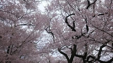 DSC 5116 高遠城址公園の桜が満開で見頃!桜雲橋は夢のよう♡駐車場情報あり