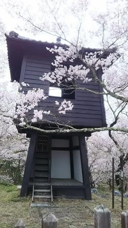 DSC 5131 高遠城址公園の桜が満開で見頃!桜雲橋は夢のよう♡駐車場情報あり