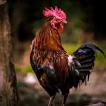 今さら聞けない!地鶏とは?地鶏の定義や地鶏ブランド一覧