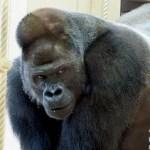 シャバーニの年齢は何歳?東山動物園のイケメンゴリラのまとめ!