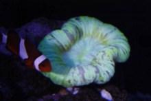 $小さな動物園-オオバナサンゴ