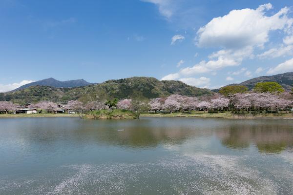 北条大池の桜-1