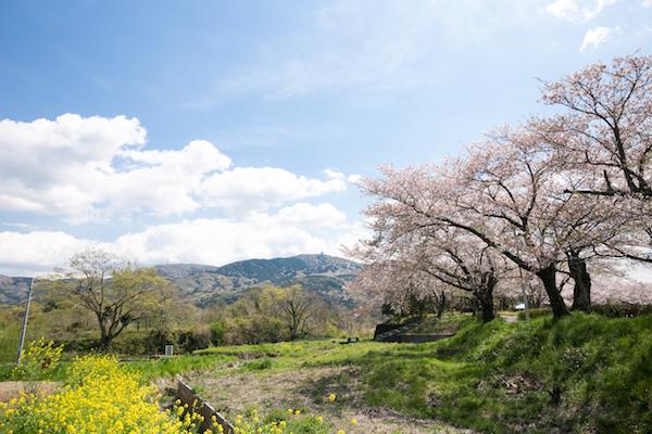 北条大池の桜-1-2