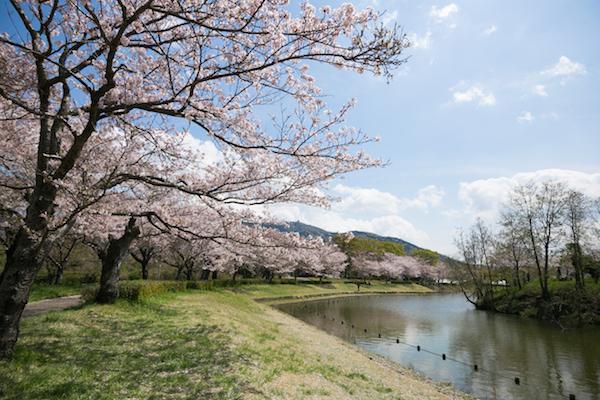 北条大池の桜-2