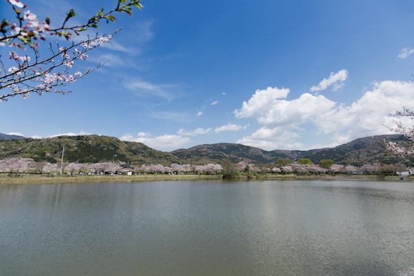 北条大池の桜-9