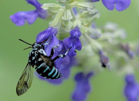 青い蜂ブルー・ビー