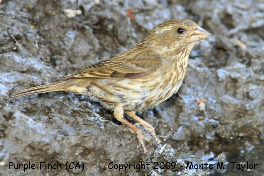 Finches Rosy-Finches Crossbills Siskin Goldfinch ...