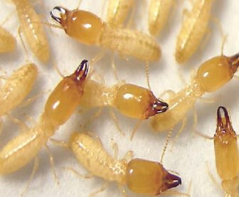 شركة مكافحة النمل الأبيض بالجبيل 0599220282 بدون مغادرة المنزل