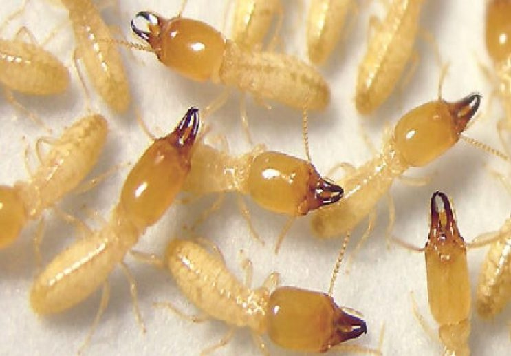 شركة مكافحة النمل الأبيض بالجبيل