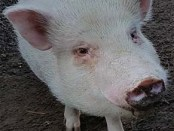 pigs-sep17-hart-dia