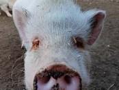 pigs-sep17-puppi