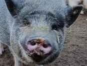 pigs-set17-caes-dia