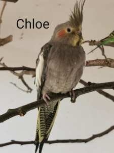 Nymphensittich Chloe
