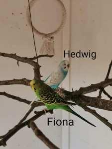 2 Wellensittiche - Hr. Hedwig & Fiona