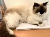 Vermisst: Katze GISELLE in Neubrandenburg!