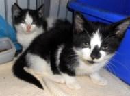 Zwei schwarz weiße Kätzchen