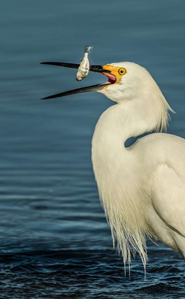 SNOWY EGRET WITH CATCH