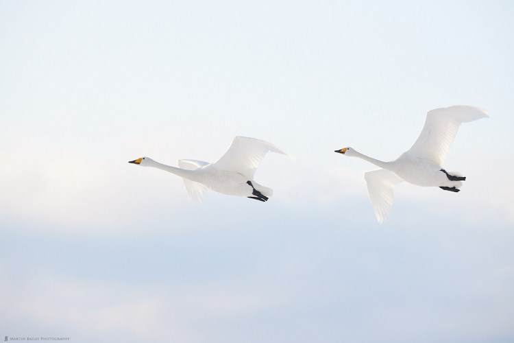 Whooper Swan Fly-By