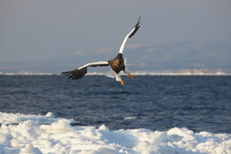 Steller's Sea Eagle and Sea Ice