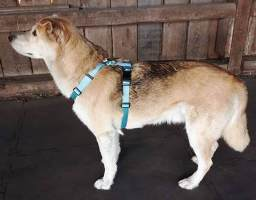 A dog wears the Tellington TTouch Harmony Harness.