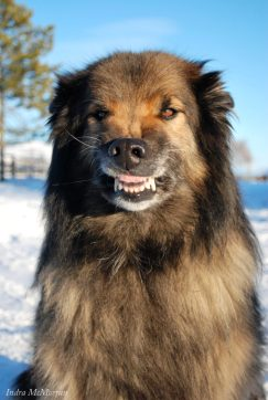 A Belgian Shepherd shows his anxious smile.