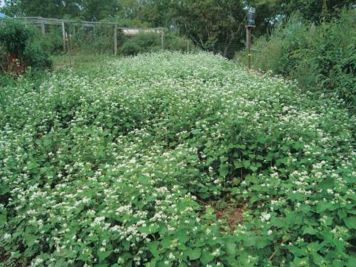 Green Manure Buckwheat - Qty. lbs