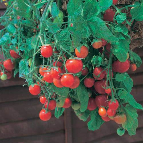Tomato Tumbling Red - Qty. msd