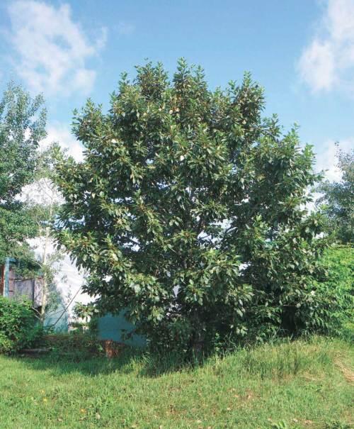Poplar Paskapoo - Qty. 1 gal