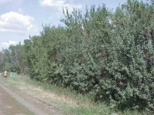 Common Caragana - Qty. 50