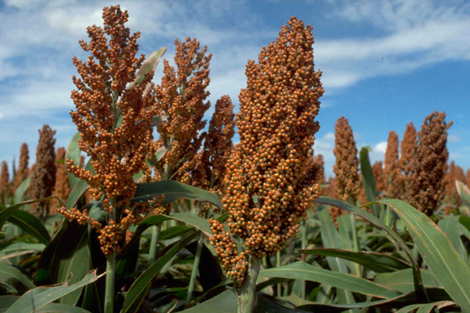 Sorghum bushels, reaching the goal.