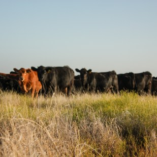 Akaushi cattle are relatively new to the Griffin ranch. The Griffins have been building the genetics of their Angus herd for many years, but began crossing Akaushi bulls with Angus heifers three years ago.