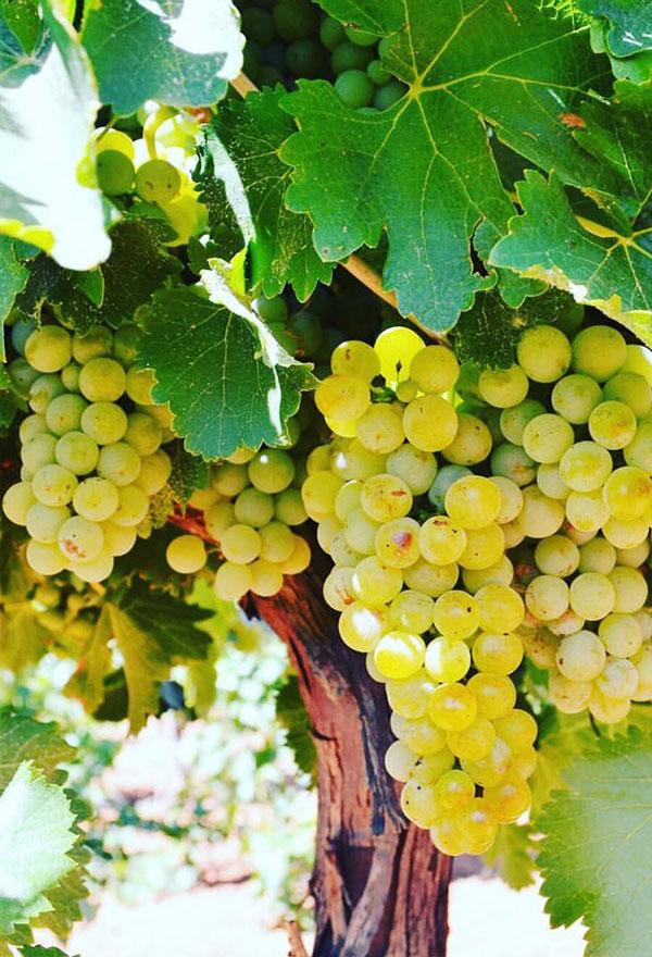 Wine grapes mid-harvest