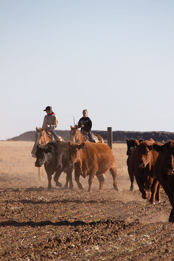 Two people moving cattle on horseback