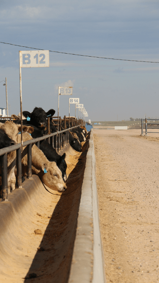 GPS navigate trucks to bunks, where a precise amount of a specific feed ration is fed to the cattle.