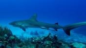 Reef shark 1ed