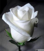 12-Rose_228925_3183108715784
