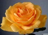 25-Rose_406798_3342271494754