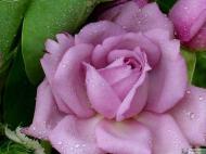 30-Rose_523757_3171073134902