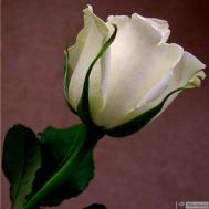 5-Rose_266203171101175603