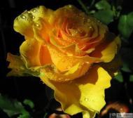 7-Rose_462443342282015017